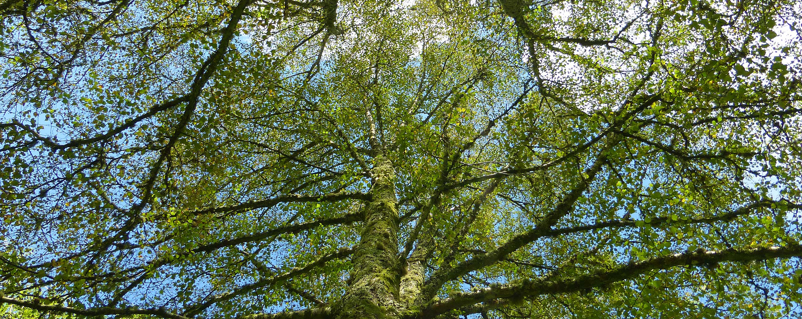 Looking up throught the trees at Sychpant Woods